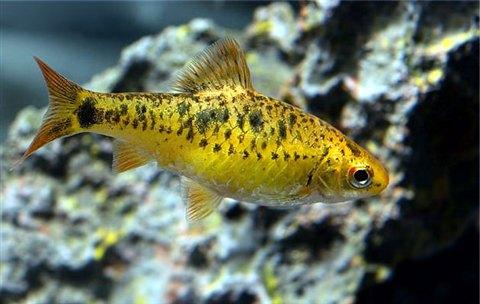 Fresh water fish photos only at feldman 39 s aquarium for Gold barb fish